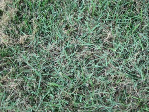 bermudagrass suppression